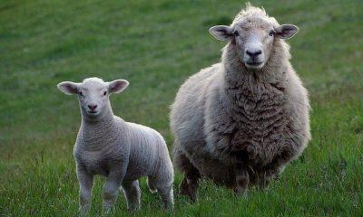 Wooly yarn